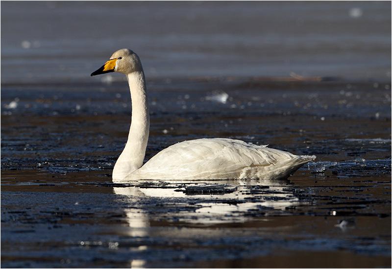 Sångsvan (Whooper Swan), Stensjön, Mölndal