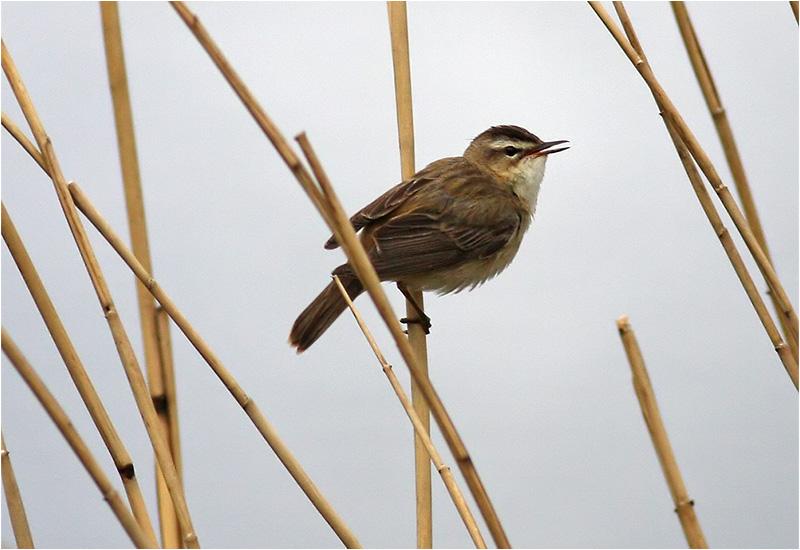 Sävsångare (Sedge Warbler), Fågeludden, Hornborgasjön, Västergötland