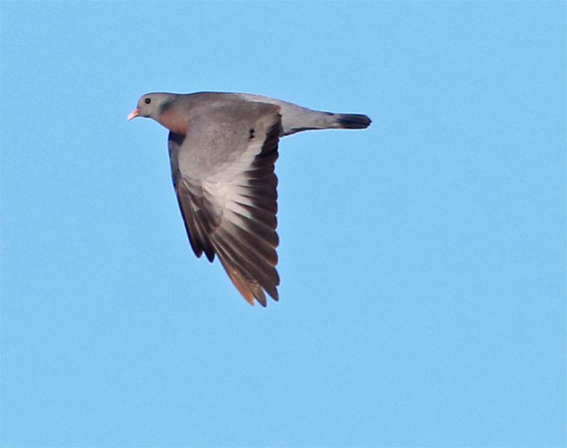 Skogsduva (Stock Dove), Lis Mosse, Halland