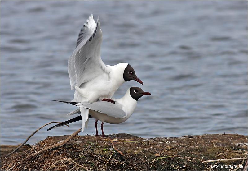 Skrattmås (Black-headed Gull), Hornborgasjön, Västergötland