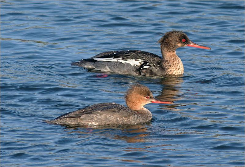 Småskrake (Red-breasted Merganser), Stora Amundö, söder om Göteborg