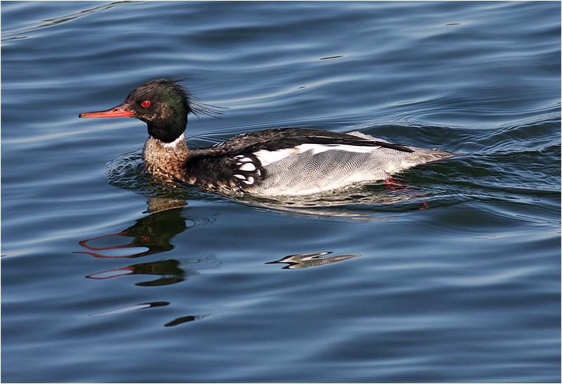 Småskrake (Red-breasted Merganser), Hovås Golfbanedamm (havet), söder om Göteborg