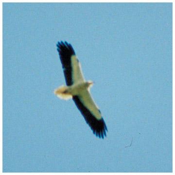 Smutsgam (Egyptian Vulture), Grekland 1986