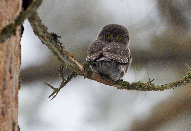 Sparvuggla (Pygmy Owl), Klippans naturreservat, Härryda