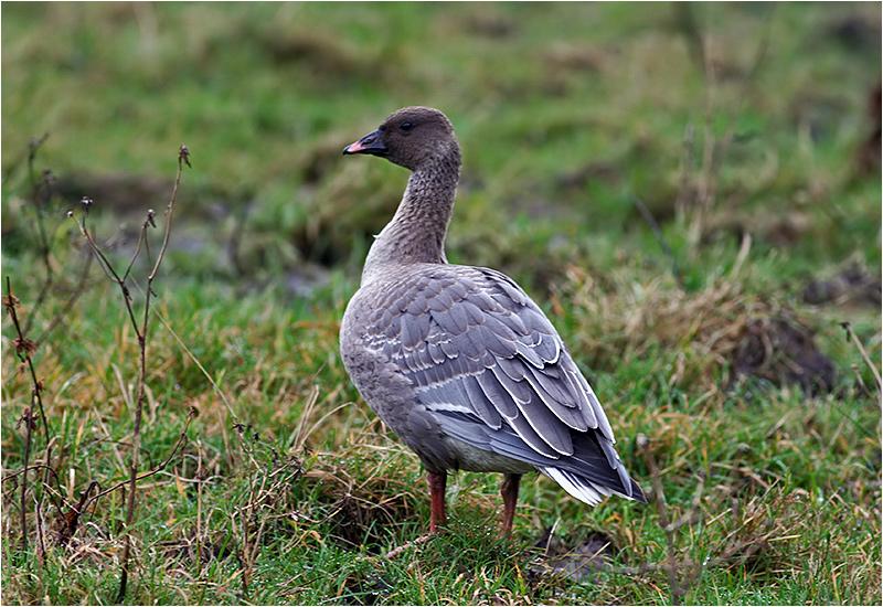 Spetsbergsgås (Pink-footed Goose), Välen, Göteborg