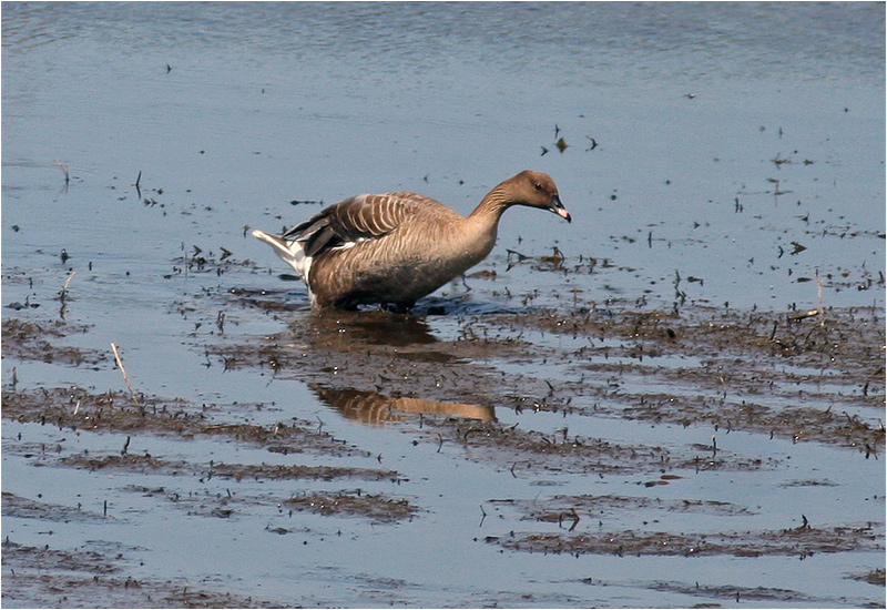 Spetsbergsgås (Pink-footed Goose), Beijershamn, Öland