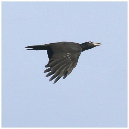 Spillkråka (Black Woodpecker), Stora Amundö, söder om Göteborg