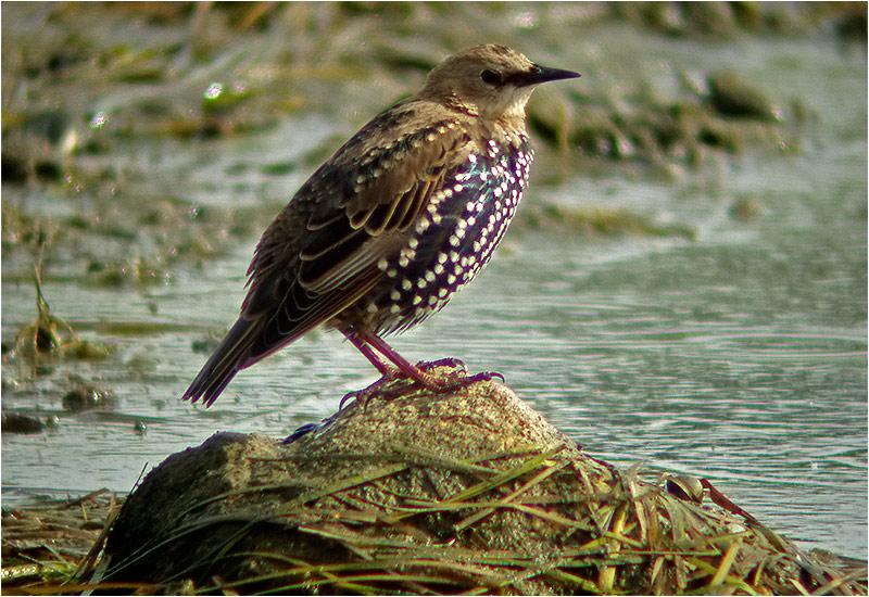 Stare (Common Starling), Stora Amundö, söder om Göteborg