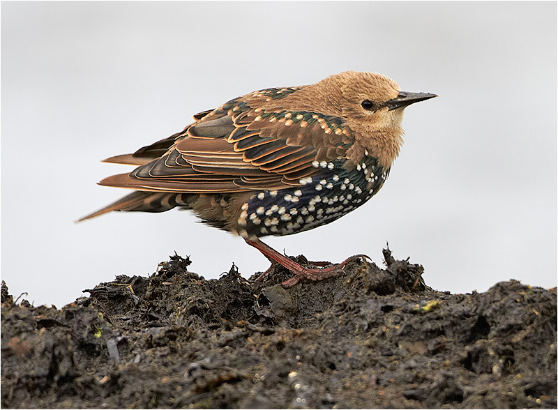 Stare (Common Starling), Galtabäck, Halland
