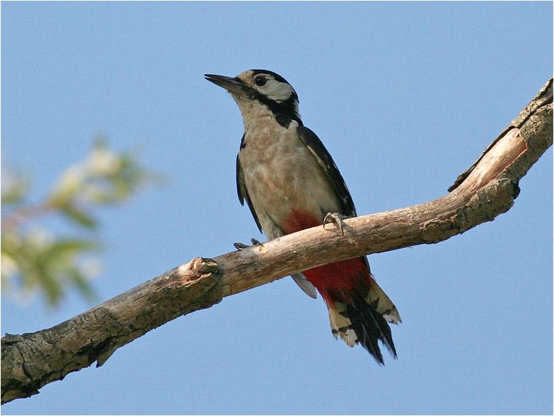 Större hackspett (Great Spotted Woodpecker), Cavallino, Italien
