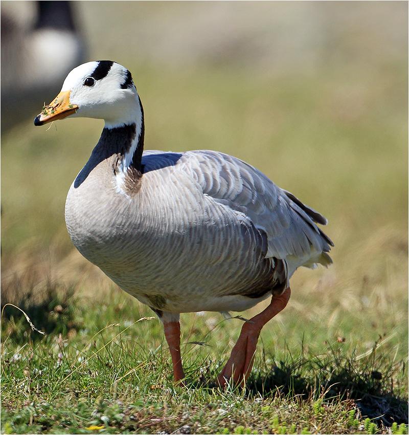 Stripgås (Bar-headed Goose), Morups Tånge, Halland