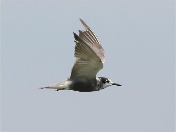 Svarttärna (Black Tern), Cavallino, Italien