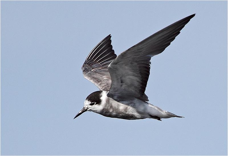 Svarttärna (Black Tern), Västerstadsviken, Öland