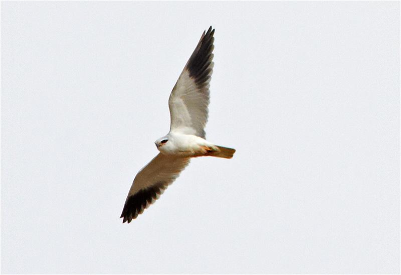 Svartvingad glada (Black-winged Kite), Tranebo, Dumme Mosse, Jönköping