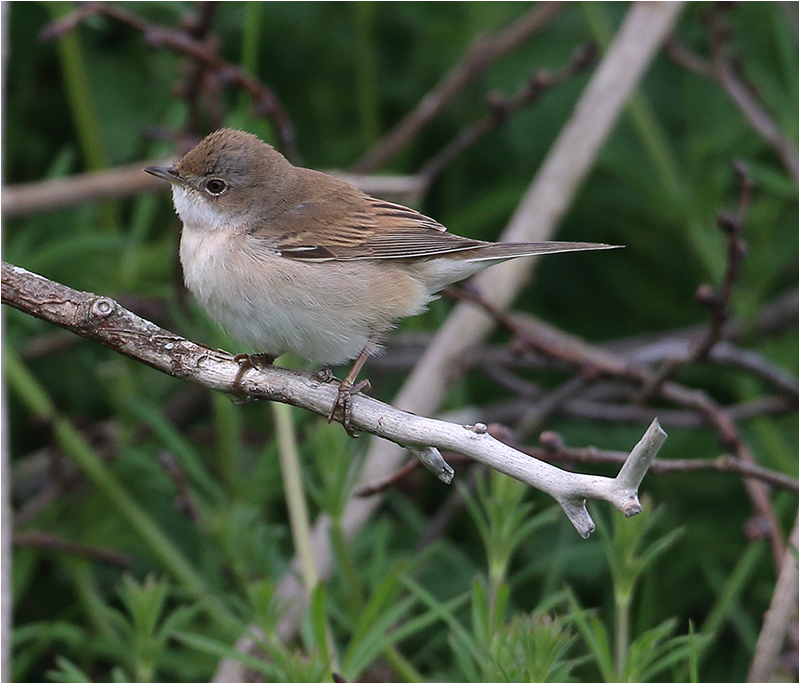 Törnsångare (Common Whitethroat), Kungsgården, Ottenby, Öland