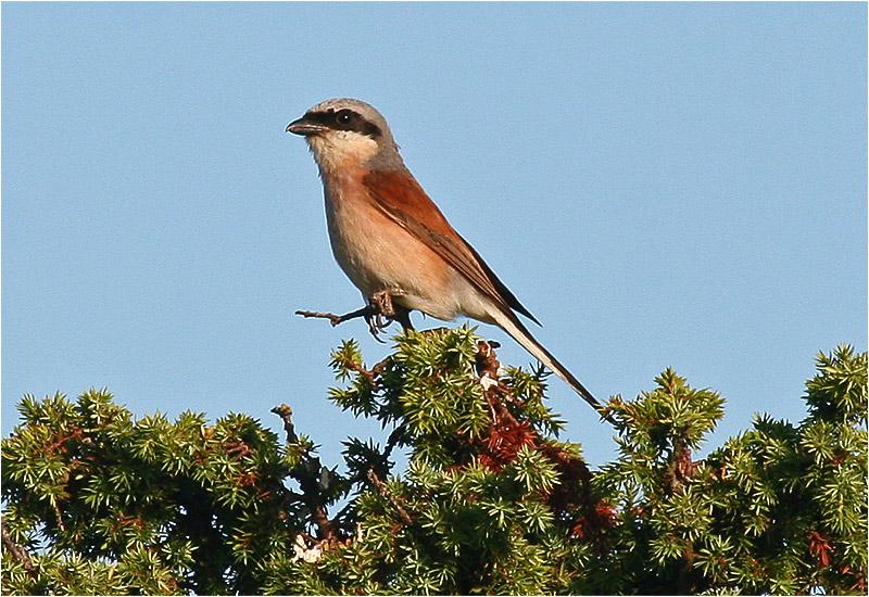 Törnskata (Red-backed Shrike), Södra Lunden, Ottenby, Öland