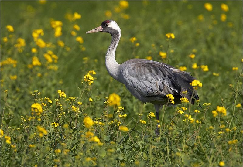 Trana (Common Crane), Össby, Öland