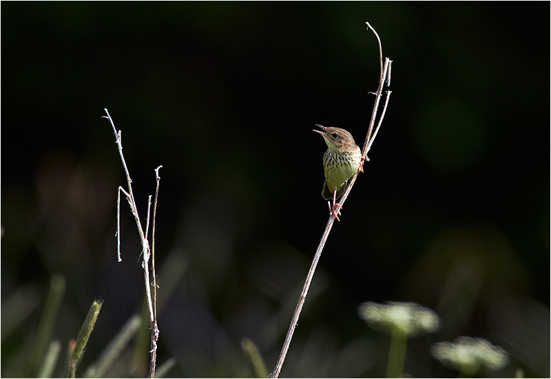 Träsksångare (Lanceolated Warbler), Bleckåsen, Jämtland