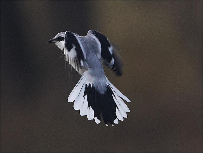 Varfågel (Great Grey Shrike) Stora Amundö, söder om Göteborg