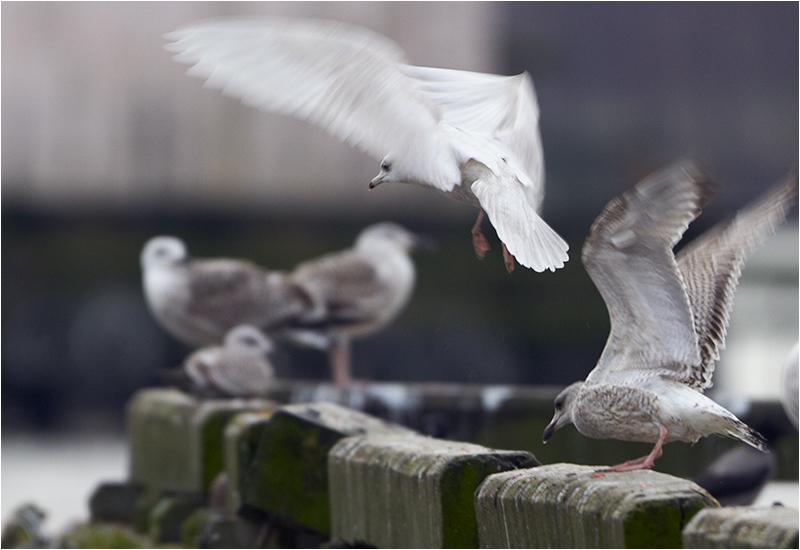 Vitvingad trut (Iceland Gull), Göteborgs Fiskhamn