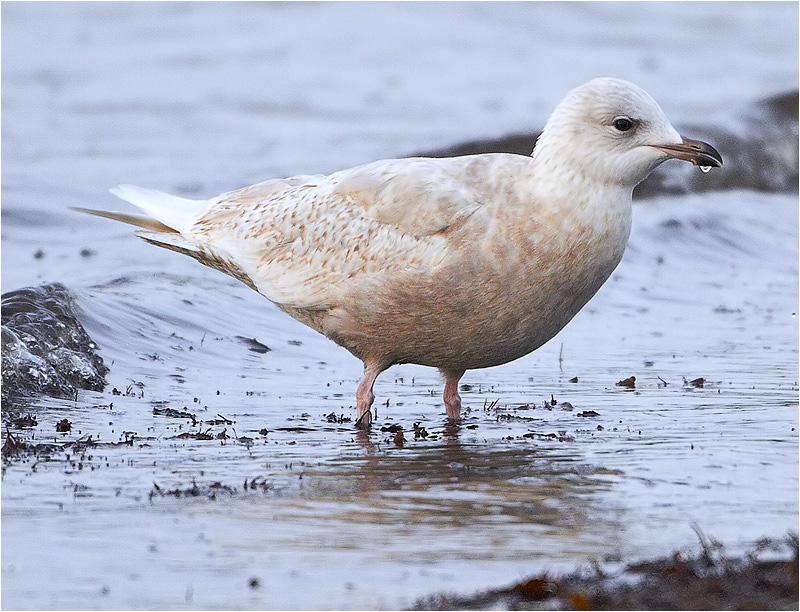Vitvingad trut (Iceland Gull), Kagabäsviken, Träslövsläge, Halland
