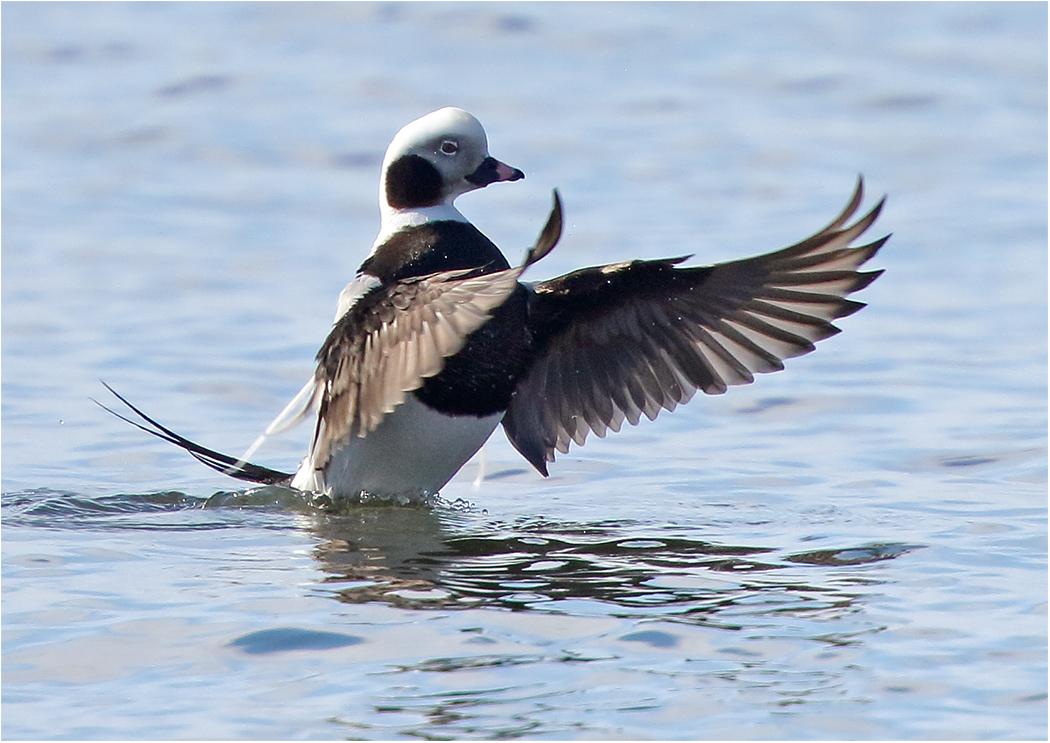 Alfågel (Long-tailed Duck) vid Kåseberga, Skåne