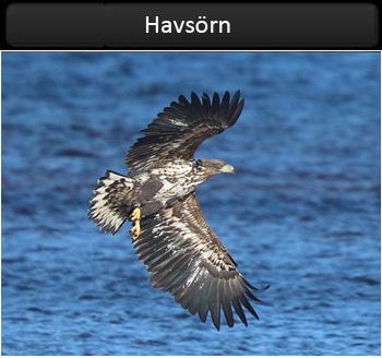 Havsörn (White-tailed Eagle) vid Lagaoset i Halland