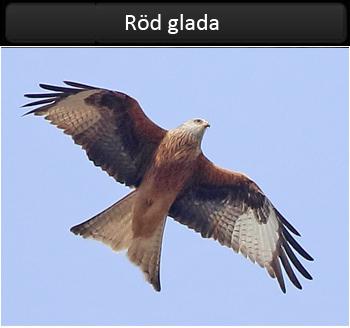 Röd glada (Red Kite) vid Svinholmen, Kungsbacka