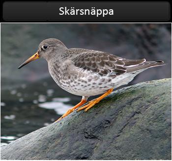Skärsnäppa (Purple Sandpiper) vid Morups Tånge i Halland