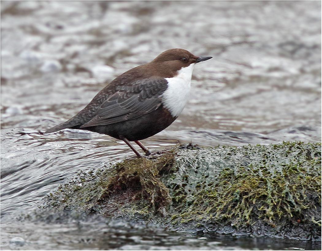 Strömstare (White-throated Dipper) vid Grevdämmet i Mölndal