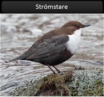 Strömstare (White-throated Dipper) vid Grevdämmet i Möndal