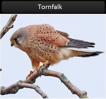 Tornfalk (Common Kestrel) vid Björkäng, Halland