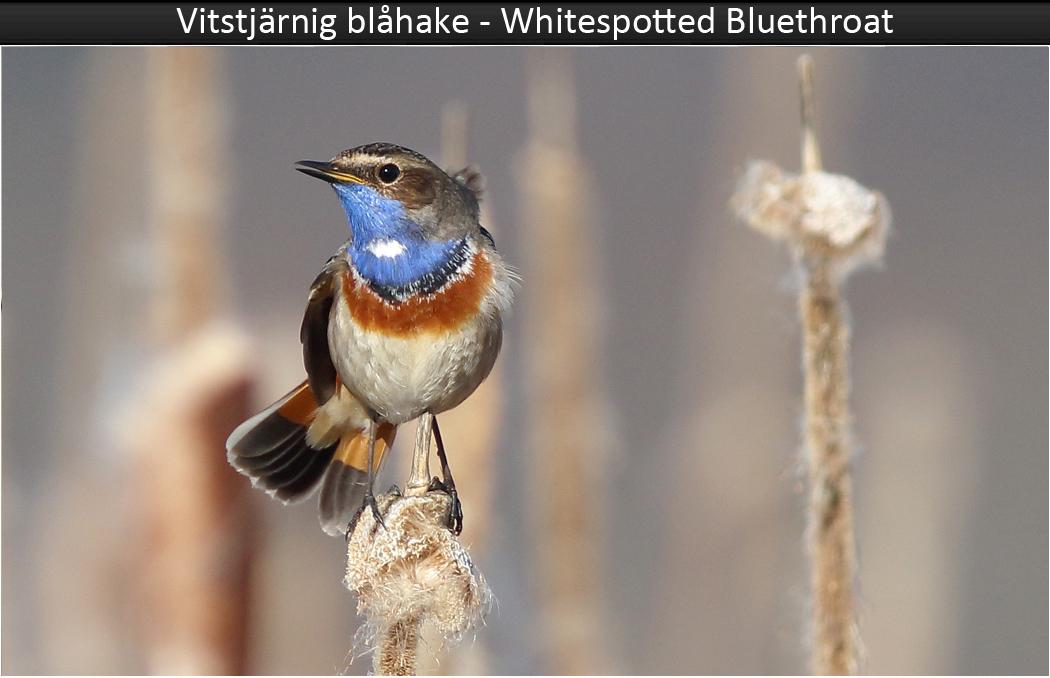 Vitstjärnig blåhake (White-spotted Bluethroat) vid Hjälms våtmark utanför Kungsbacka i Halland