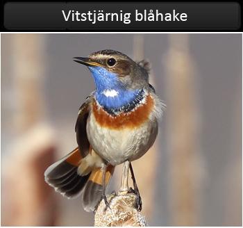 Vitsjärnig blåhake (White-spotted Bluethroat) vid Hjälms våtmark utanför Kungsbacka, Halland
