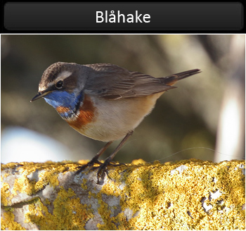Blåhake (Bluethroat)