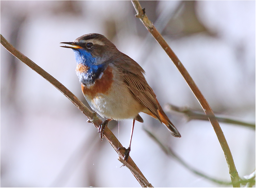 Blåhake (Blue-throat) vid Ölands Södra Udde