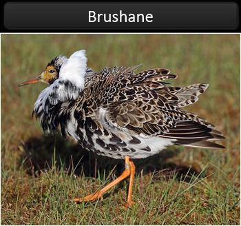 Brushane (Ruff)