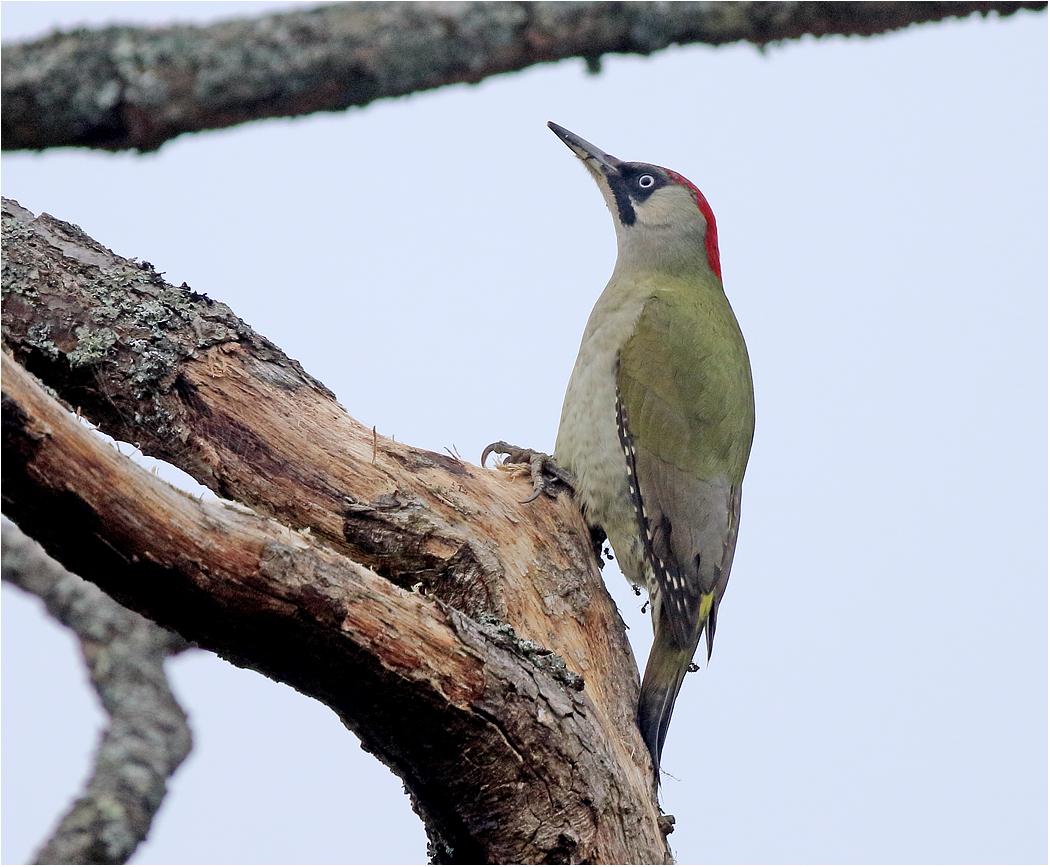 Gröngöling (Green Woodpecker) vid Amundövik, Göteborg