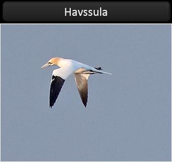 Havssula (Gannet)