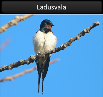 Ladusvala (Barn Swallow)