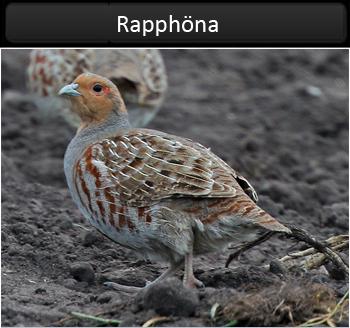Rapphöna