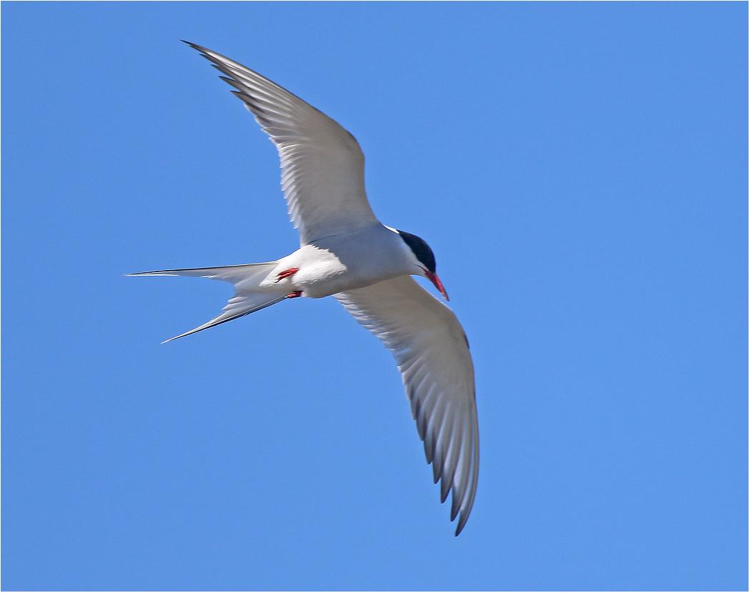 Silvertärna (Arctic Tern) vid Västerstadsviken på Öland