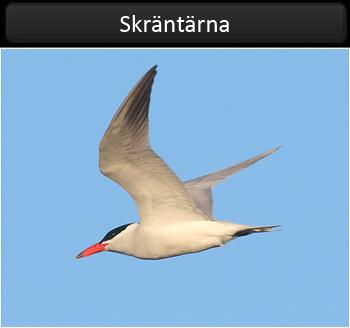 Skräntärna (Caspian Tern)