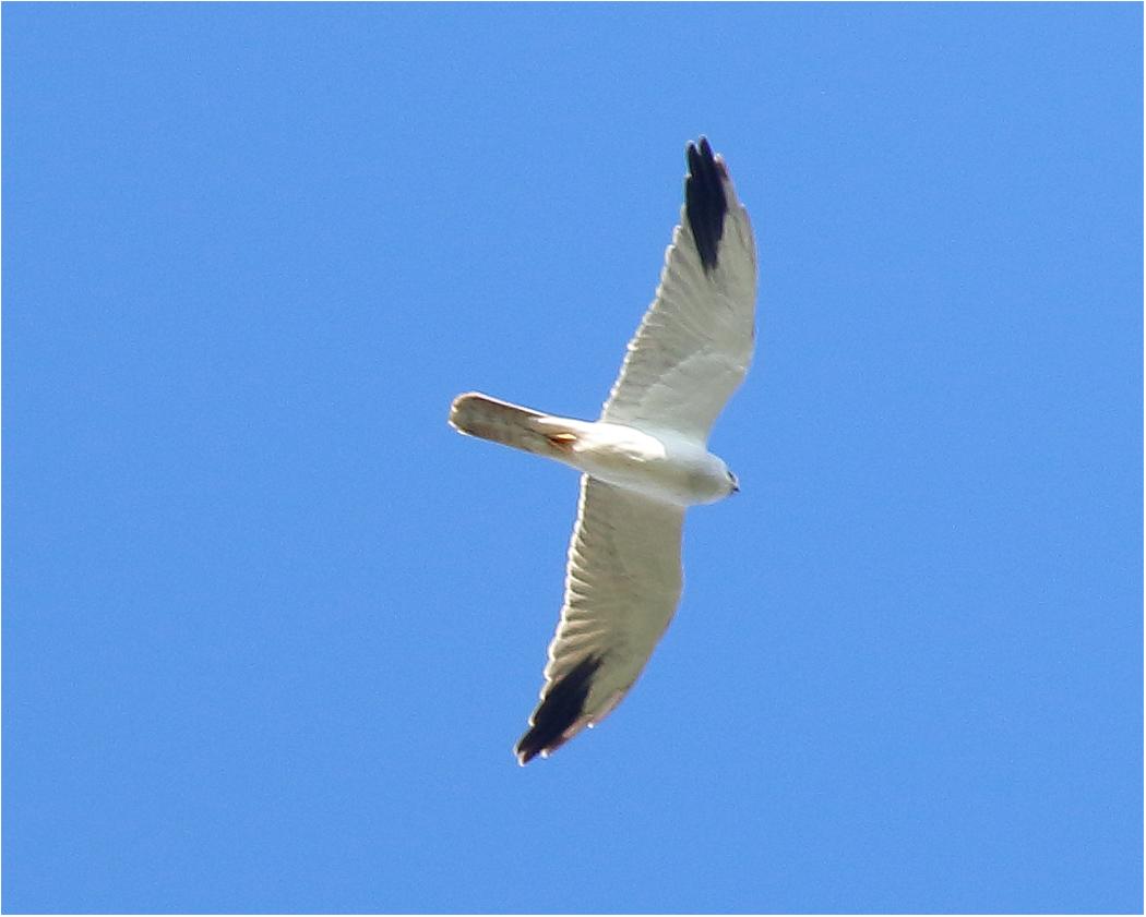 Stäpphök (Pallid Harrier), adult hane, norr om Ventlinge, Öland