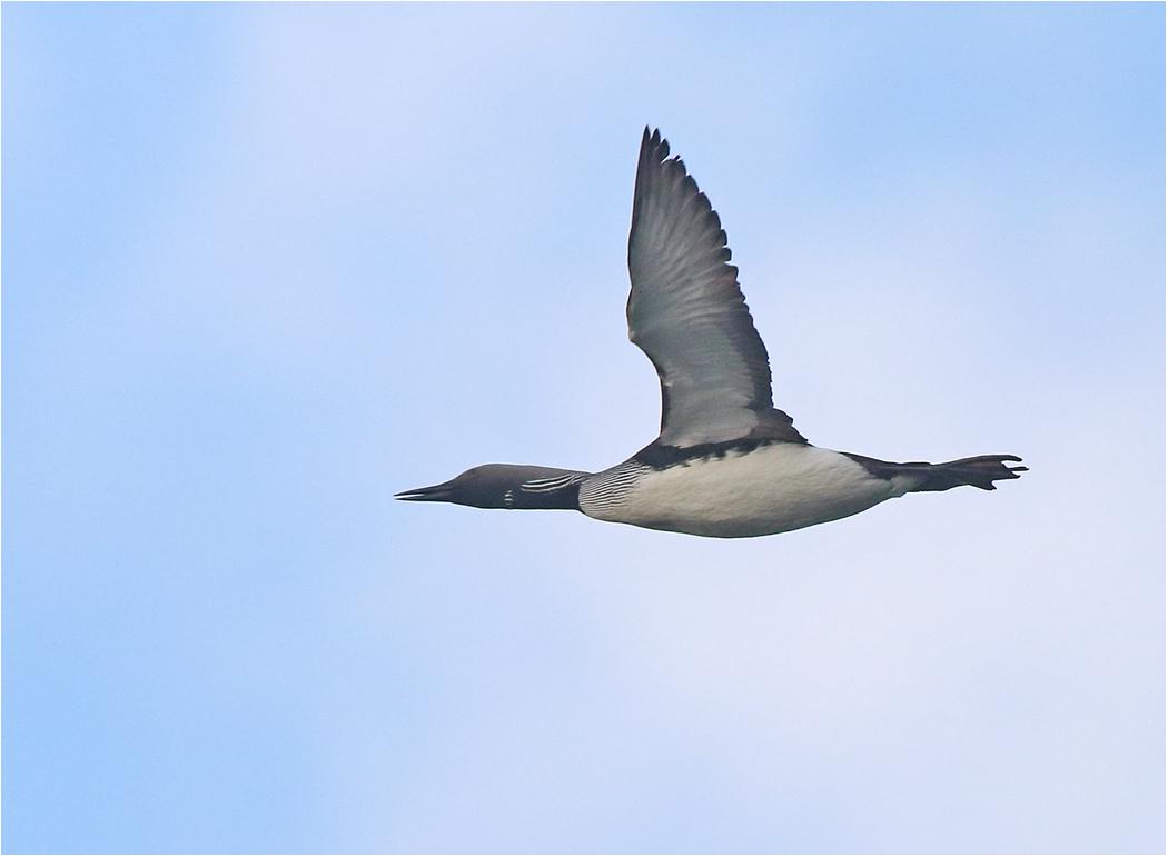 Storlom (Black-throated Diver) vid Ölands Södra Udde