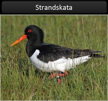 Strandskata (Oystercatcher)