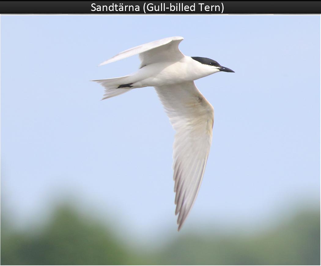 Sandtärna (Gull-billed Tern) vid Trönninge Ängar, Halmstad