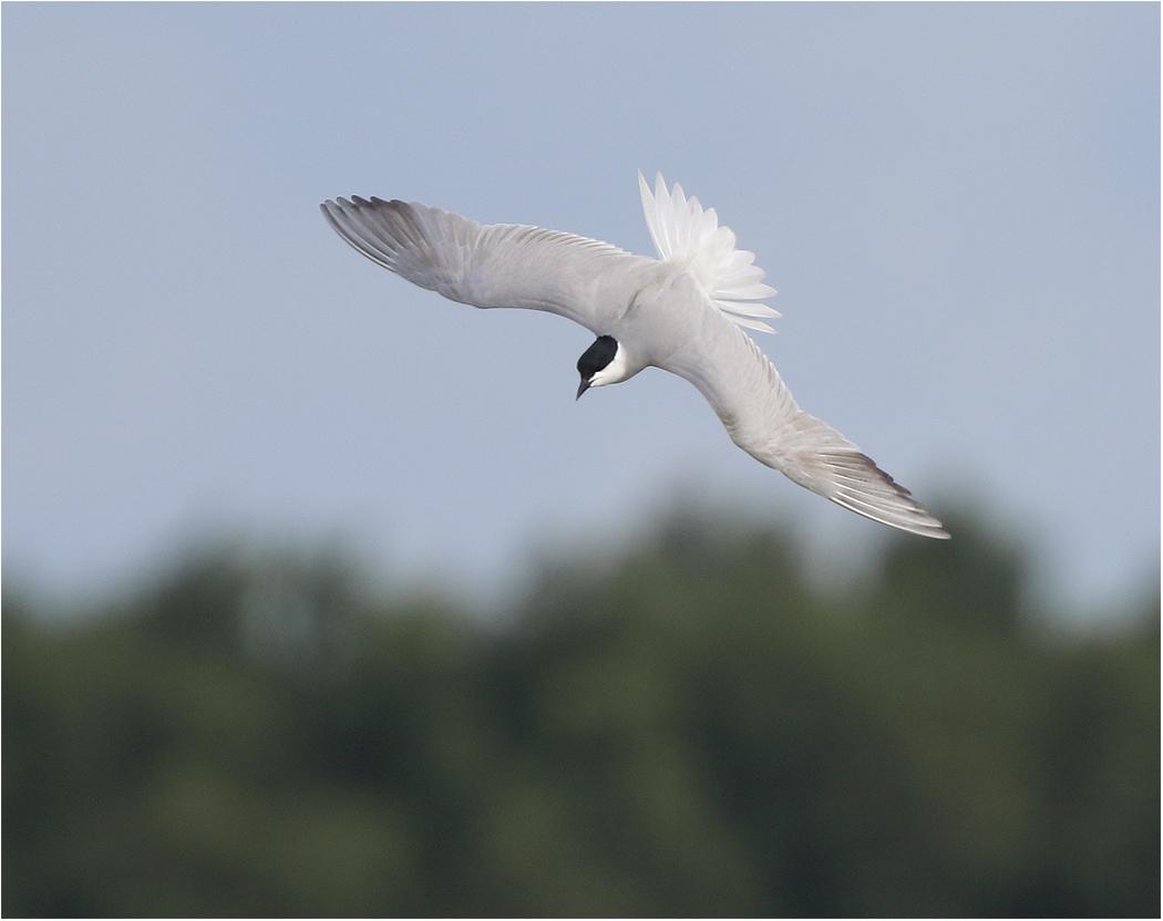 Sandtärna (Gull-billed Tern), Trönninge ängar utanför Halmstad, Halland