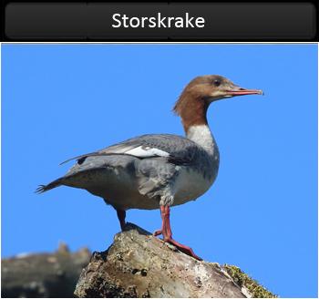 Storskrake (Goosander)