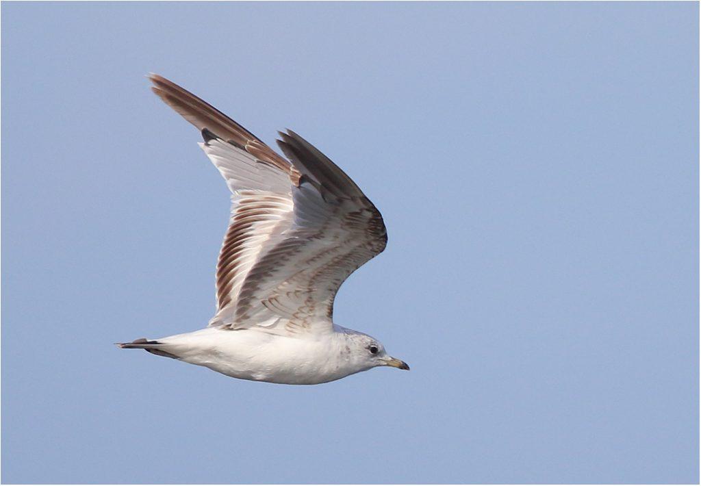 Fiskmås (Common Gull) vid Ölands Södra Udde